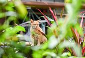 Yellow Brown Female Cat Sitting In The Garden Backyard / Asia Tabby Cat poster