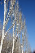 Row of Poplar Trees over blue sky