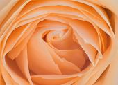 Top View Closeup Photo Of Orange Rose Flower, Flowery Texture, Petals Pattern Background, Flowery Ov poster