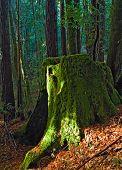 foto of stomp  - giant redwood tree moss covered stomp - JPG
