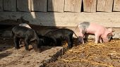 Piglets Playing And Jolly Run In Farm Yard. Funny Pigs. Baby Piglets Play In Yard. Little Pigs Live  poster