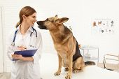 Professional Veterinarian Examining German Shepherd Dog In Clinic poster