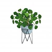 Indoor Plant Watercolor Illustration. Home Plants, Chinese Money Plants Or  Missionary Plants In A H poster