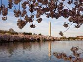 Cherry Blossoms Framing Washington Monument poster