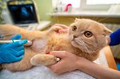 The Doctor Does An Ultrasound Examination Of The Cats Abdomen, An Animal On The Operating Table, A  poster