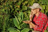 pic of tobacco barn  - Ukrainian peasant and tobacco plant - JPG