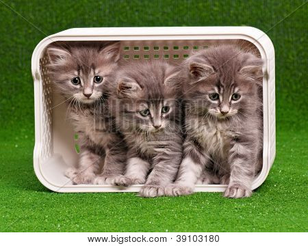 Cute gray kittens in box on artificial green grass