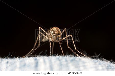 Mosquito Closeup