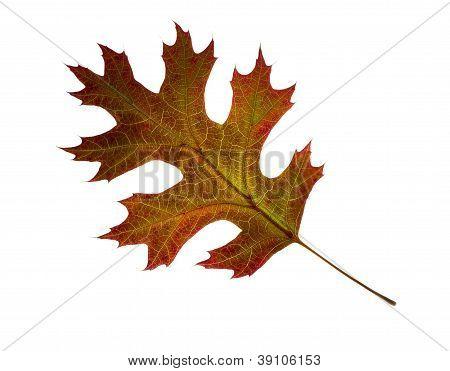 Autumn Oak Leaf.  Isolated.