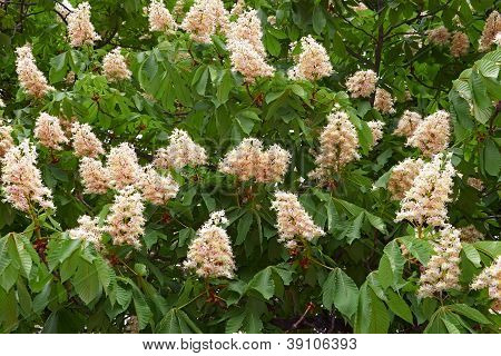 Blooming Chestnut Tree In Springtime