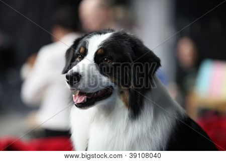 Bernhardiner Hund