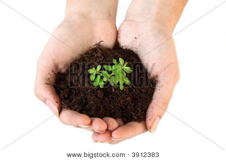 Soil And Young Plant In Hands