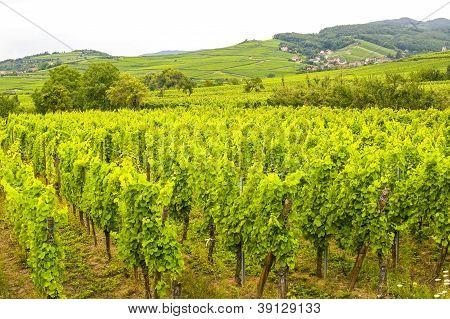 Saint-hippolyte (alsace) - Vineyards