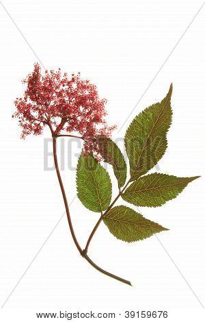 Red Flowering Black Elder