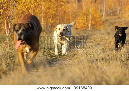 Dogs Coming With A Stick