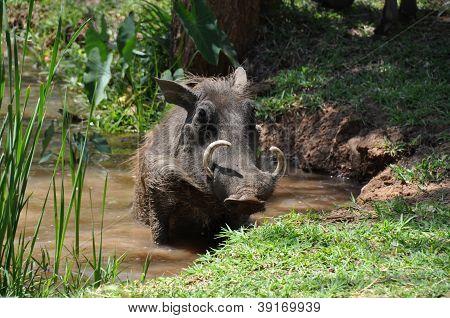 Warthog Taking A Bath