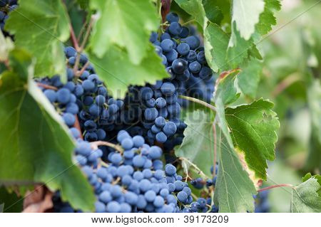 Bunch Of Ripe Dark Grapes