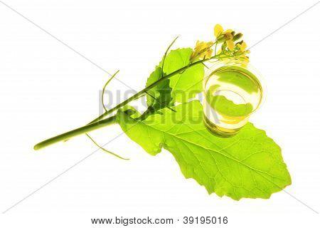 Planta de canola (Brassica napus)