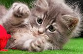 Cute gray kitten playing red clew of thread on artificial green grass