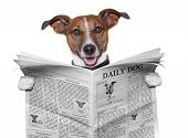 image of white terrier  - dog reading and holding a big newspaper - JPG