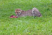 picture of gruesome  - Eating cheetah on green background in summer - JPG
