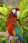 stock photo of tame  - The Scarlet Macaw is a large - JPG