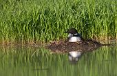 foto of loon  - Common loon sits on nest - JPG