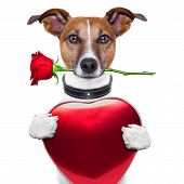 image of dog-rose  - valentine dog with red rose and red big heart - JPG