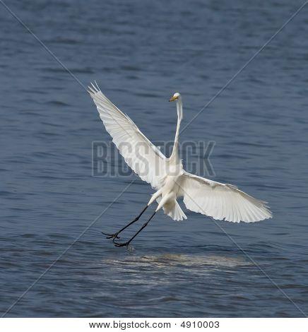 Great White Egret At Tendaba