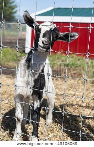Goat In The Farmyard