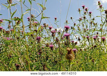 Meadow Thistle (cirsium Disssectum) Background