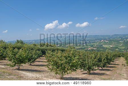 Hazelnut Plantation,Piedmont,Italy