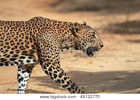 Profile View of a Walking Leopard