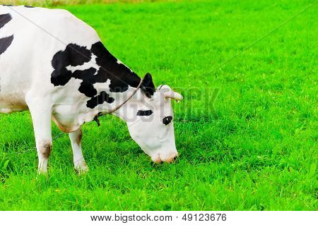 cow on the chain chews grass on a green meadow