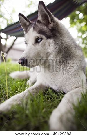 Siberian Husky Rest
