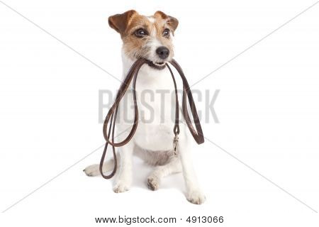 Jack Russell Terrier Holding Leach