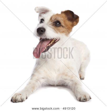 Jack Russell Terrier acostado