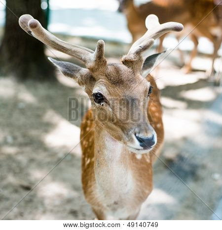 young deer looking at camera
