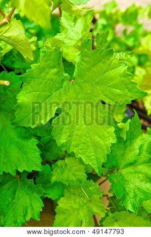 Large Grape Leaf On Vine