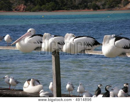 Pelicans Roosting on Pier
