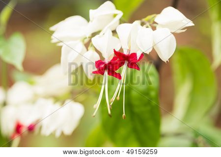 Bleeding Heart Vine Or Clerodendrum Thomsoniae Flowers Extreme Close Up