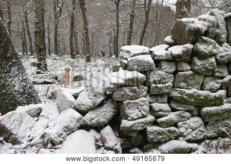 Mixed breed dog in winter forest Kent