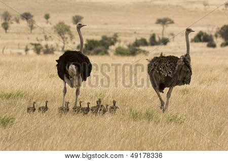 Two ostriches (Struthio camelus) with babies in savannah