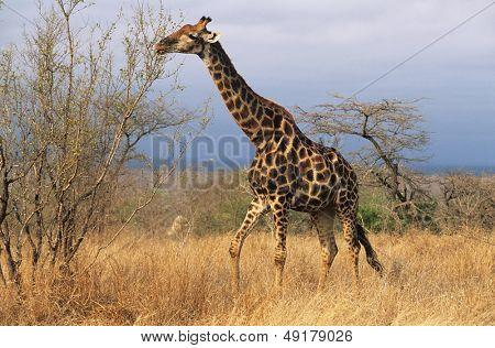 Maasai Giraffe (Giraffa Camelopardalus) on savannah