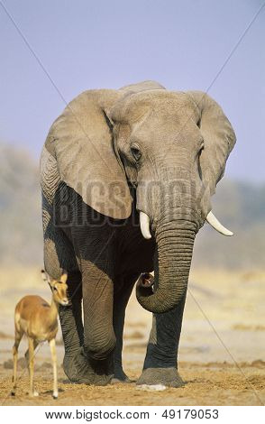 African Elephant (Loxodonta Africana) and Gazelle on savannah