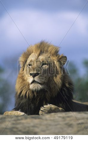 Lion resting on savannah