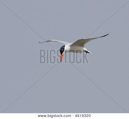 Caspian Tern At Tanji , The Gambia