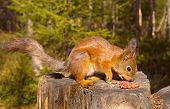 image of pine nut  - Squirrel with nuts and summer forest on background wild nature thematic  - JPG