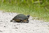 stock photo of cooter  - A moss covered river cooter turtle  - JPG