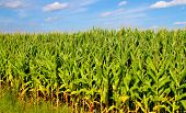 pic of corn stalk  - Rows of corn growing under the warmth of the summer sun